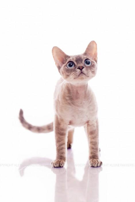 Kattenfotograaf / Kattenfotografie - KLEINE RAKKERS - DEVON REX - MIYOKO