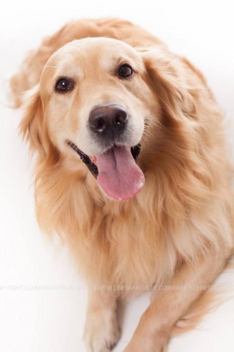 Hondenfotograaf / Hondenfotografie - KLEINE RAKKERS - GOLDEN RETRIEVER - SEPPE