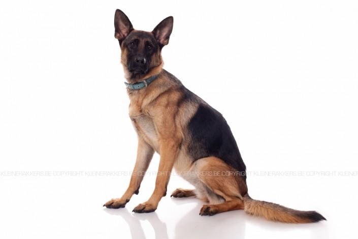 Hondenfotograaf / Hondenfotografie - KLEINE RAKKERS - GERMAN SHEPHERD - LARA