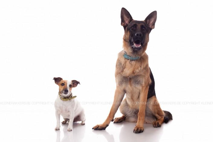 Hondenfotograaf / Hondenfotografie - KLEINE RAKKERS - JACK RUSSEL & GERMAN SHEPHERD - LUNA & LARA