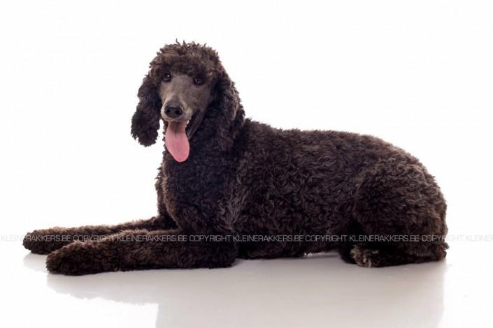 Hondenfotograaf / Hondenfotografie - KLEINE RAKKERS - POEDEL - TOSCA