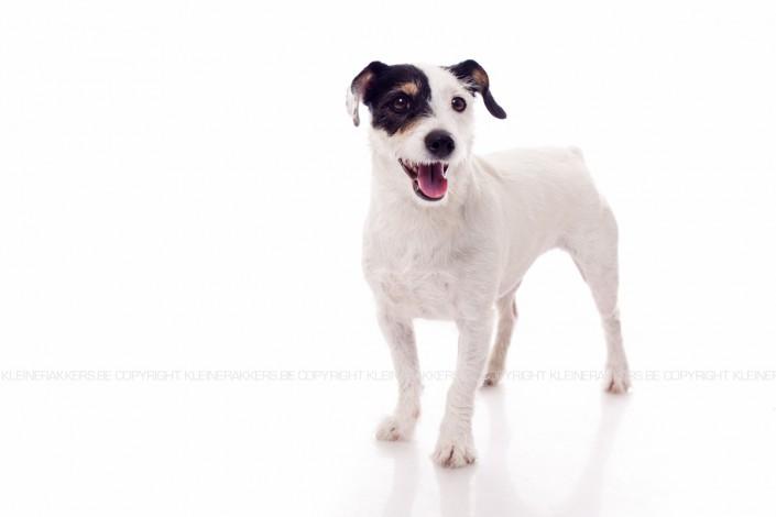 Hondenfotograaf / Hondenfotografie - KLEINE RAKKERS - JACK RUSSEL - PIPPA