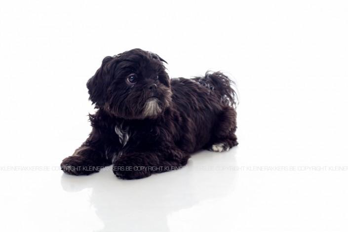 Hondenfotograaf / Hondenfotografie - KLEINE RAKKERS - SHITZU - LOLA