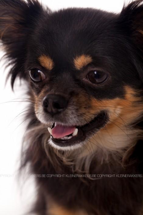 Hondenfotograaf / Hondenfotografie - KLEINE RAKKERS - CHIHUAHUA - MAURICE
