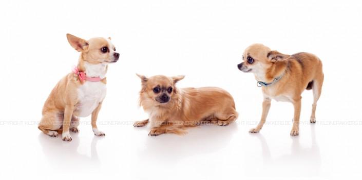 Hondenfotograaf / Hondenfotografie - KLEINE RAKKERS - CHIHUAHUA - TIARA, CHELSEY & SHARI