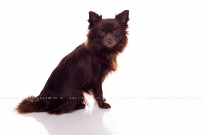 Hondenfotograaf / Hondenfotografie - KLEINE RAKKERS - CHIHUAHUA - FLOORTJE