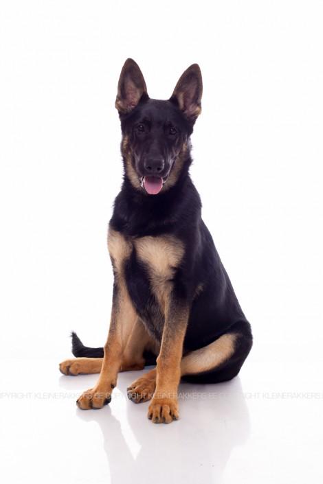 Hondenfotograaf / Hondenfotografie - KLEINE RAKKERS - DUITSE HERDER - TARZAN
