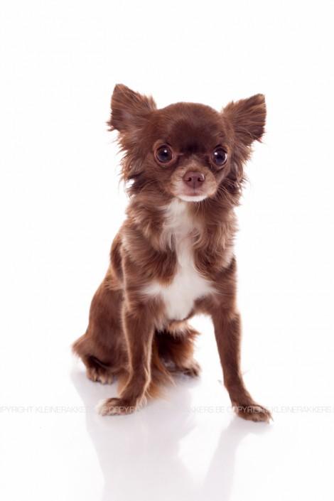 Hondenfotograaf / Hondenfotografie - KLEINE RAKKERS - CHIHUAHUA - TINKERBELL