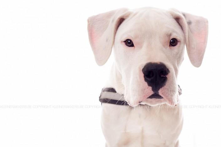 Hondenfotograaf / Hondenfotografie - KLEINE RAKKERS - ARGENTIJNSE DOG - TYSON