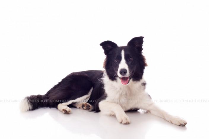 Hondenfotograaf / Hondenfotografie - KLEINE RAKKERS - BORDER COLLIE - SKY