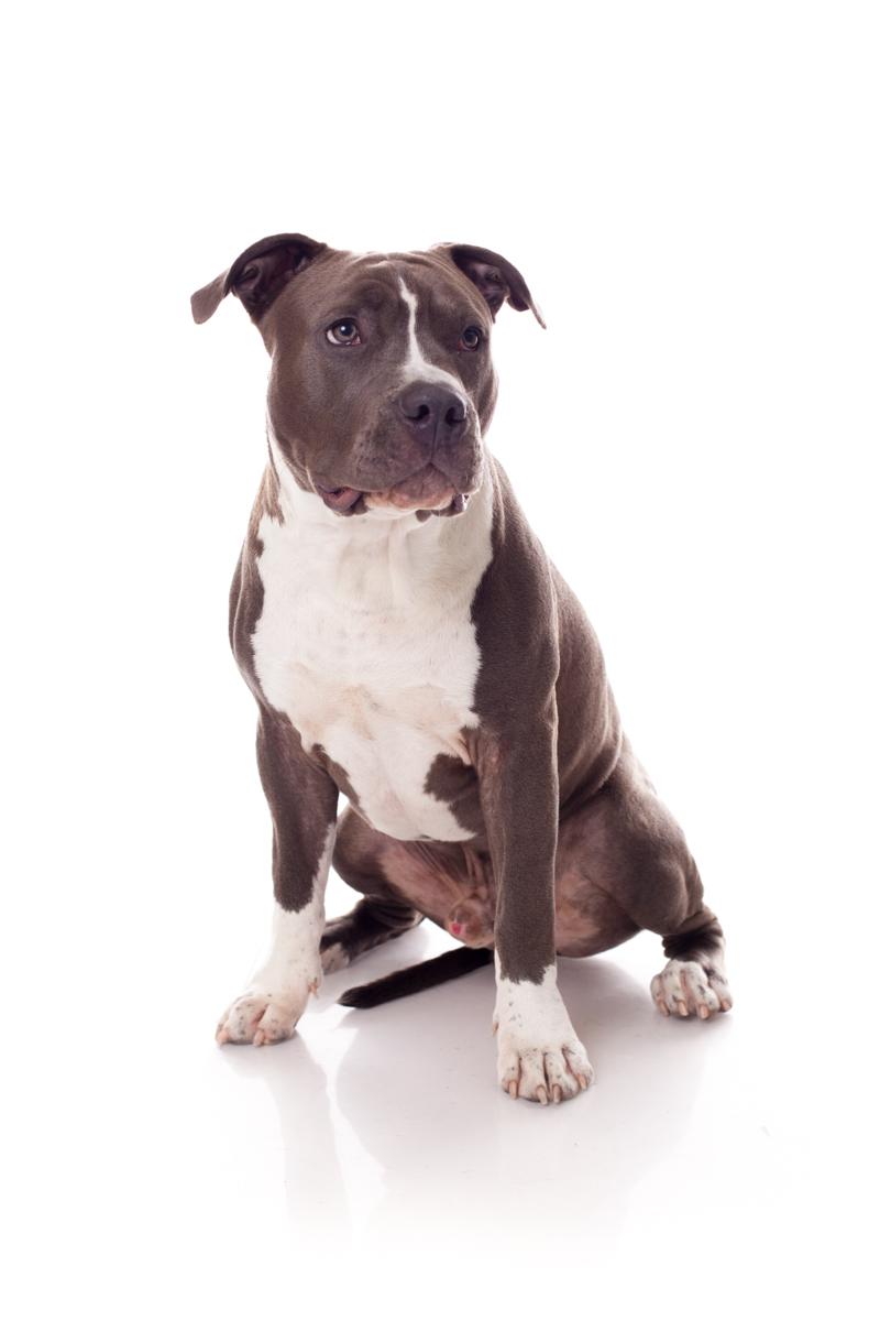 Hondenfotograaf / Hondenfotografie - KLEINE RAKKERS - STAFFORD - OLLY