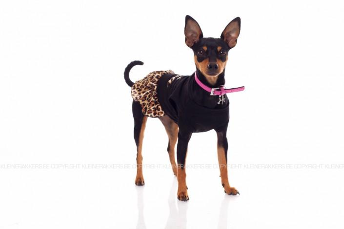 Hondenfotograaf / Hondenfotografie - KLEINE RAKKERS - CHIHUAHUA - DIVA