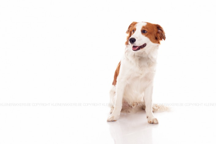 Hondenfotograaf / Hondenfotografie - KLEINE RAKKERS - KOOIKERHONDJE - ROBBY