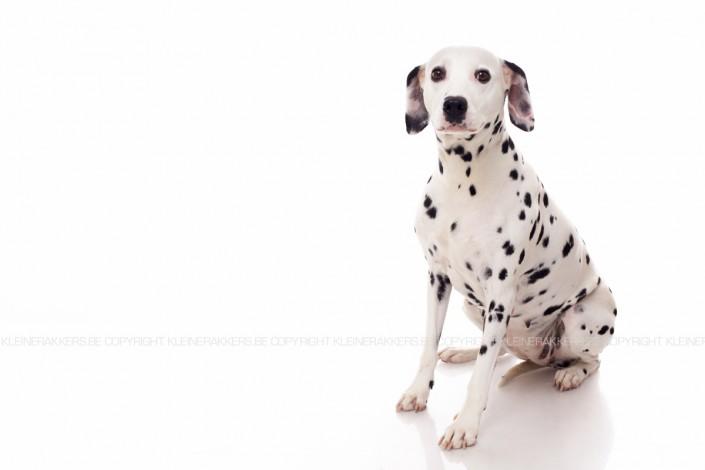 Hondenfotograaf / Hondenfotografie - KLEINE RAKKERS - DALMATIER - BASHKA
