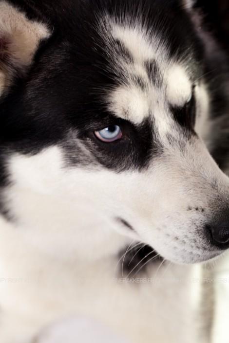 Hondenfotograaf / Hondenfotografie - KLEINE RAKKERS - HUSKY - MYSTIC
