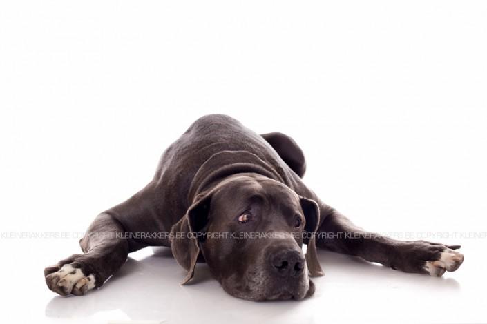 Hondenfotograaf / Hondenfotografie - KLEINE RAKKERS - DUITSE DOG - ZINO