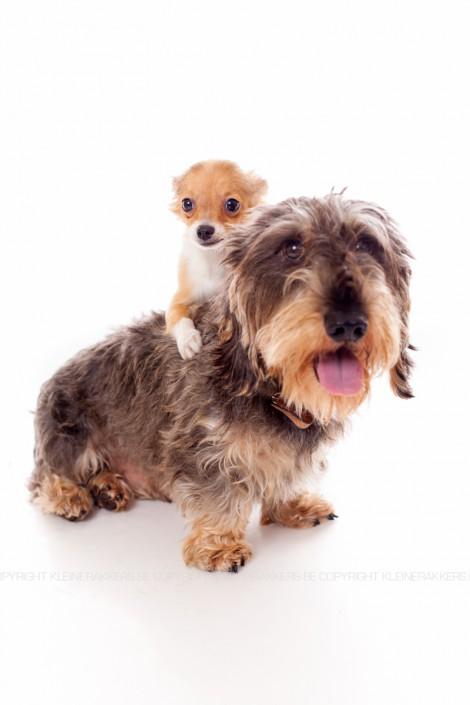 Hondenfotograaf / Hondenfotografie - KLEINE RAKKERS - TECKEL & CHIHUAHUA