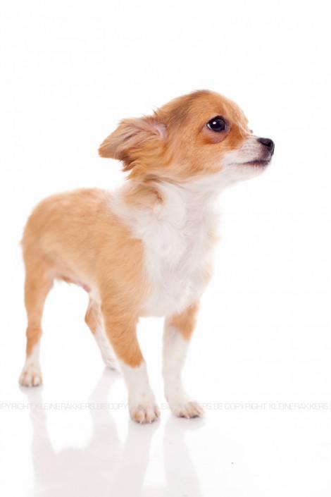 Hondenfotograaf / Hondenfotografie - KLEINE RAKKERS - CHIHUAHUA