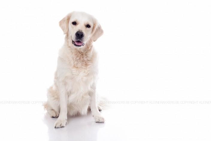 Hondenfotograaf / Hondenfotografie - KLEINE RAKKERS - GOLDEN RETRIEVER - ROXY