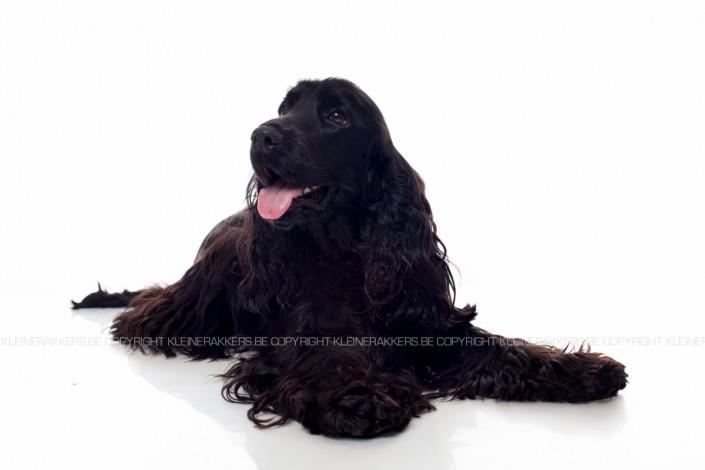 Hondenfotograaf / Hondenfotografie - KLEINE RAKKERS - ENGLISH COCKER - FONZIE