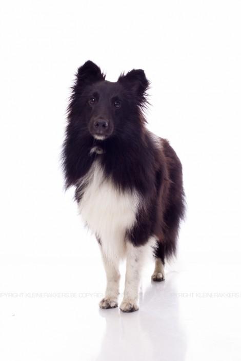 Hondenfotograaf / Hondenfotografie - KLEINE RAKKERS - SHELTIE - PUMA