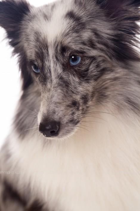 Hondenfotograaf / Hondenfotografie - KLEINE RAKKERS - SHELTIE - NAVA